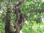 Kacang parang hutan